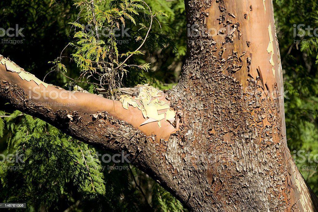 arbutus bark stock photo
