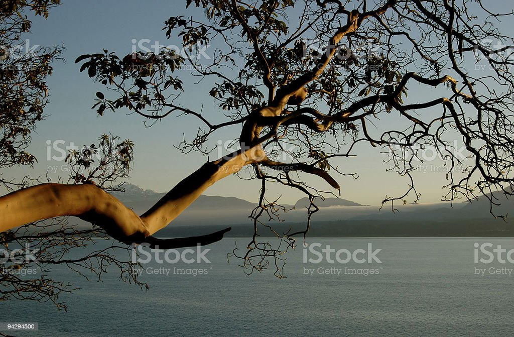 Arbutus overhanging water stock photo