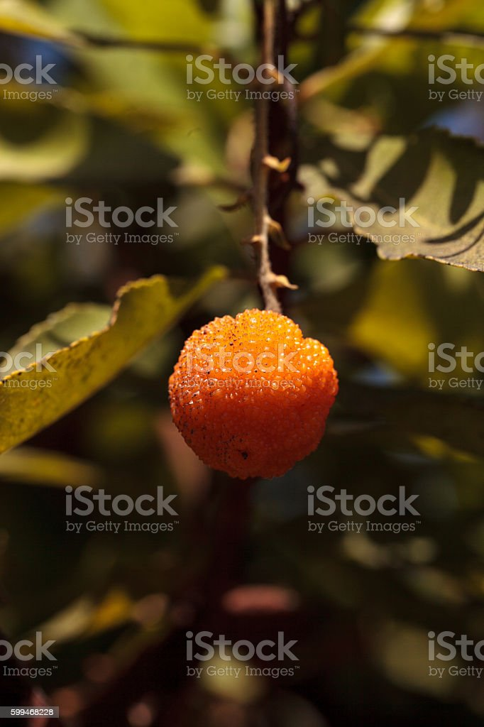 Arbutus strawberry tree, Arbutus unedo stock photo