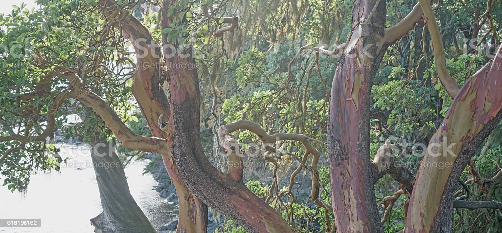 Arbutus tree, flaking red bark stock photo