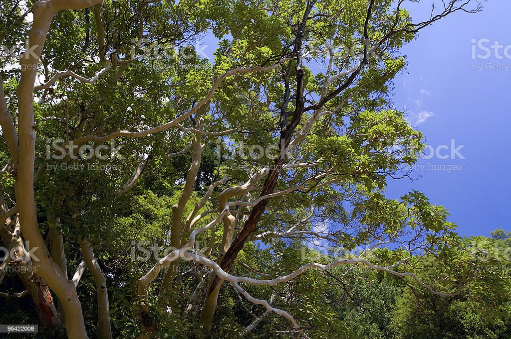 arbutus tree royalty-free stock photo