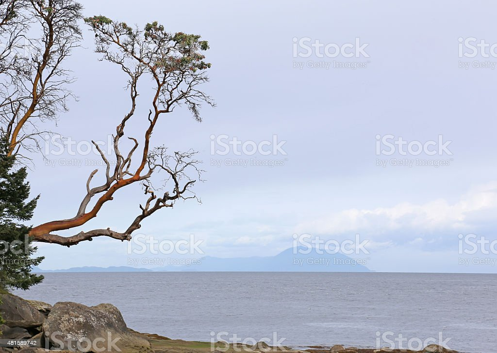 Arbutus Tree Reaching Out stock photo
