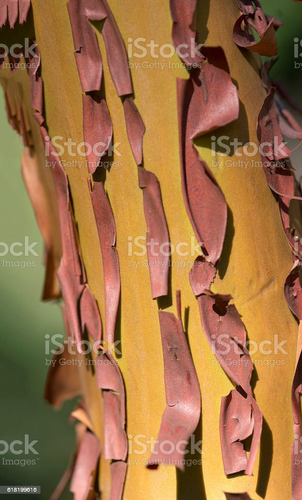 Arbutus tree, red flaking bark stock photo