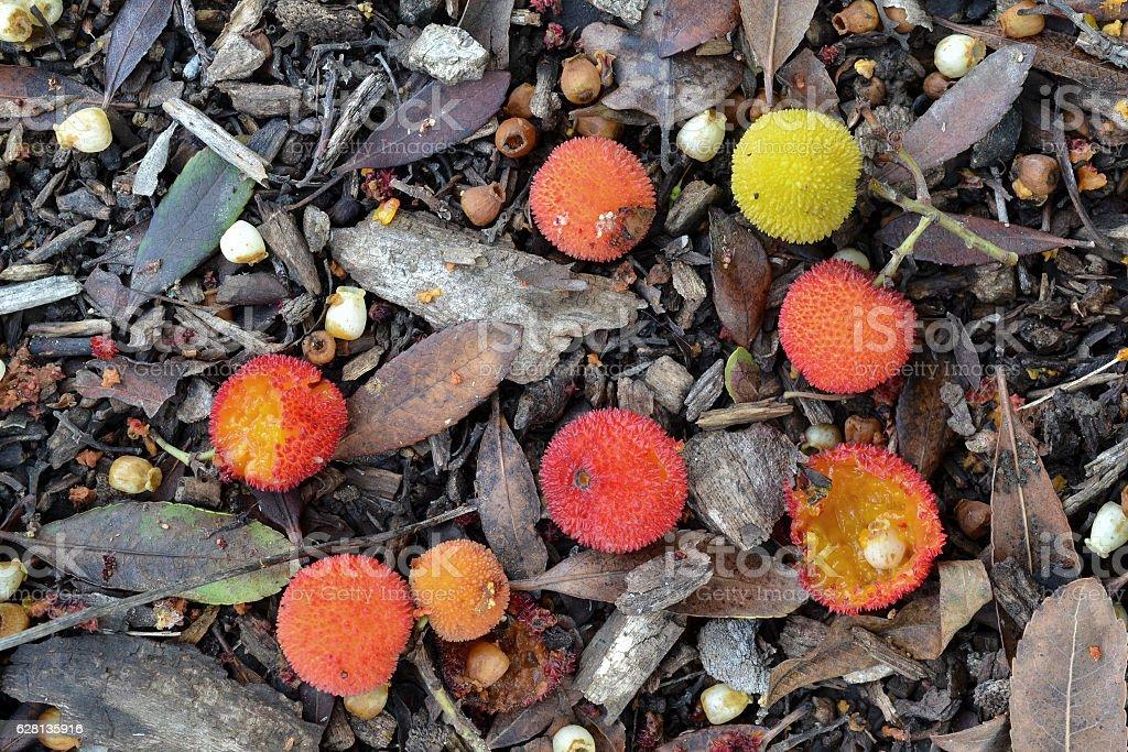 Arbutus unedo (strawberry tree) fruits on the ground stock photo