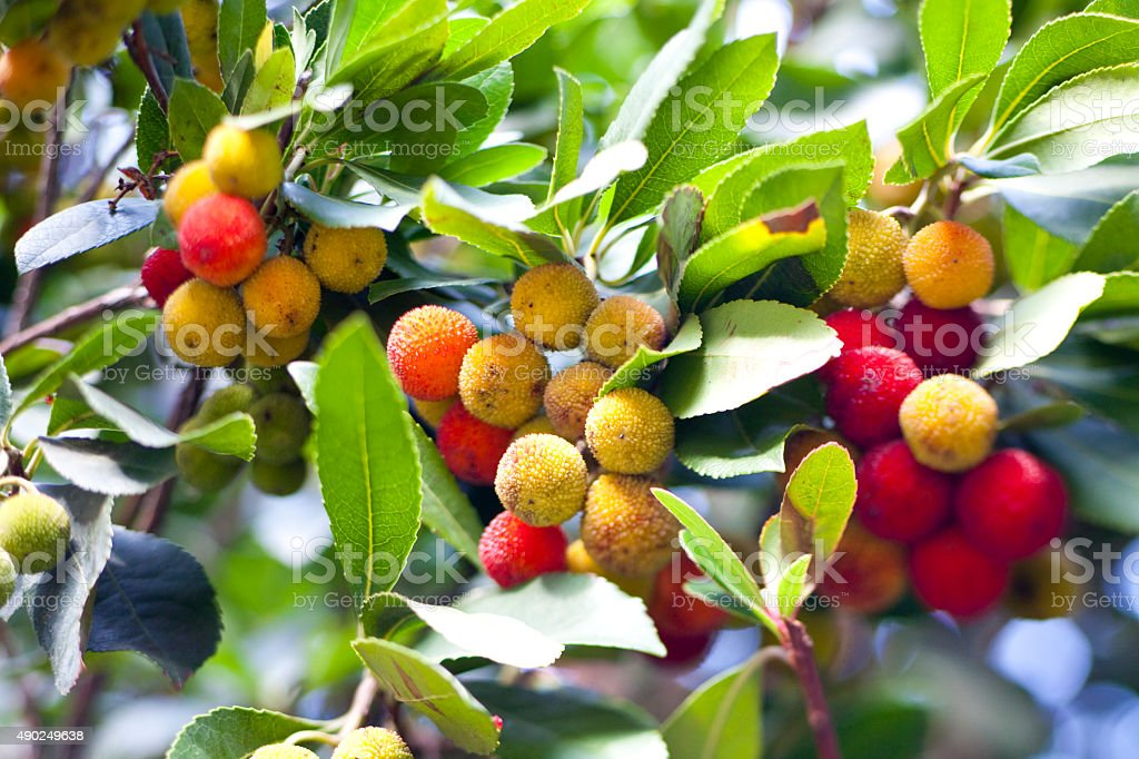 Arbutus unedo (strawberry tree) stock photo