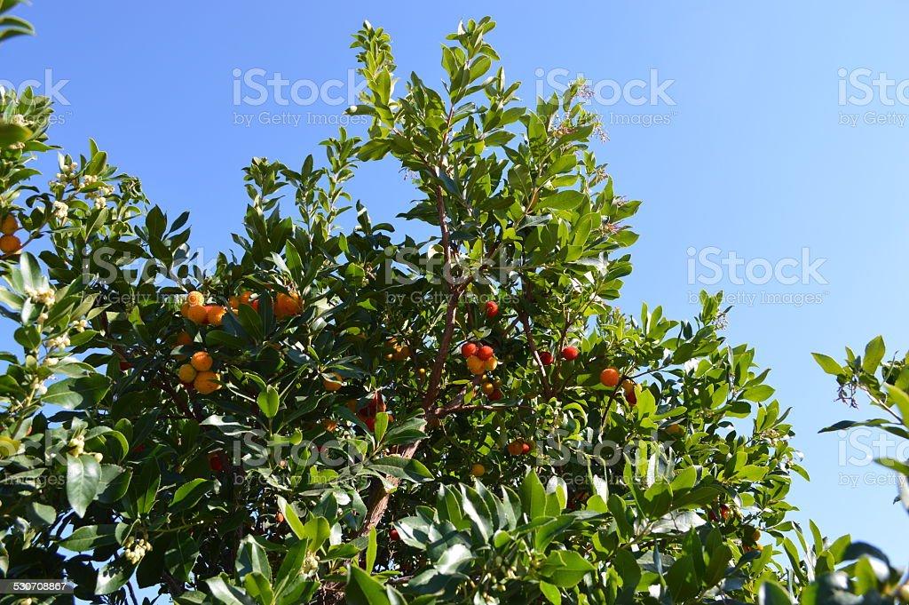 Arbutus unedo árbol foto de stock libre de derechos