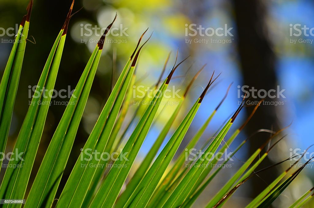 Arc of palm frond tips splitting iwth blackened tips stock photo