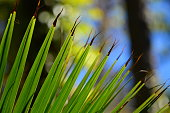 Arc of palm frond tips splitting iwth blackened tips