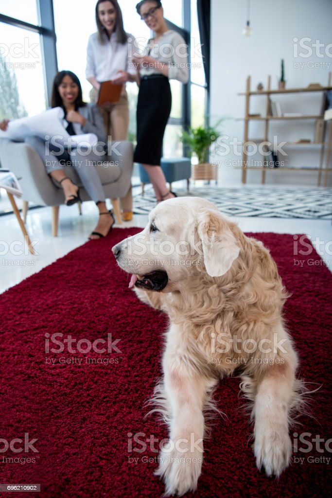 architects in formal wear working with blueprint while dog lying on carpet at office stock photo