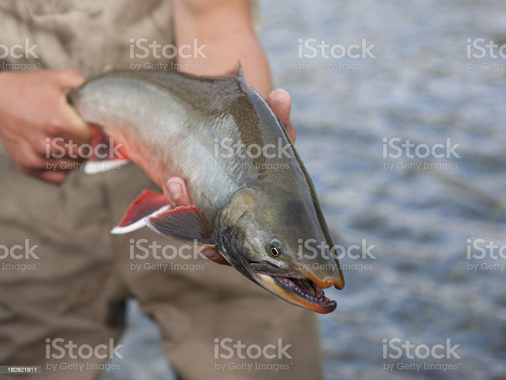 Arctic Char Caught Flyfishing in Alaska on the Kanektok stock photo