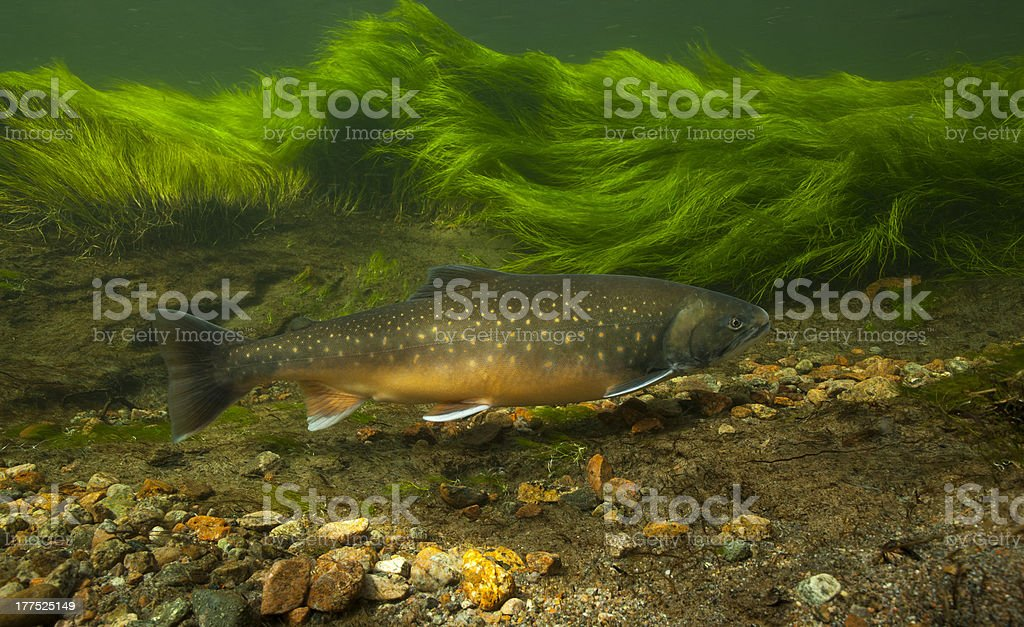 Arctic char in clear water river, Greenland stock photo