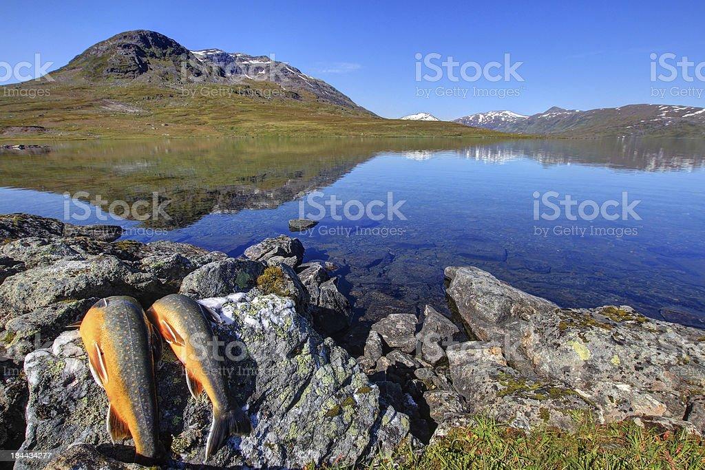 Arctic char stock photo
