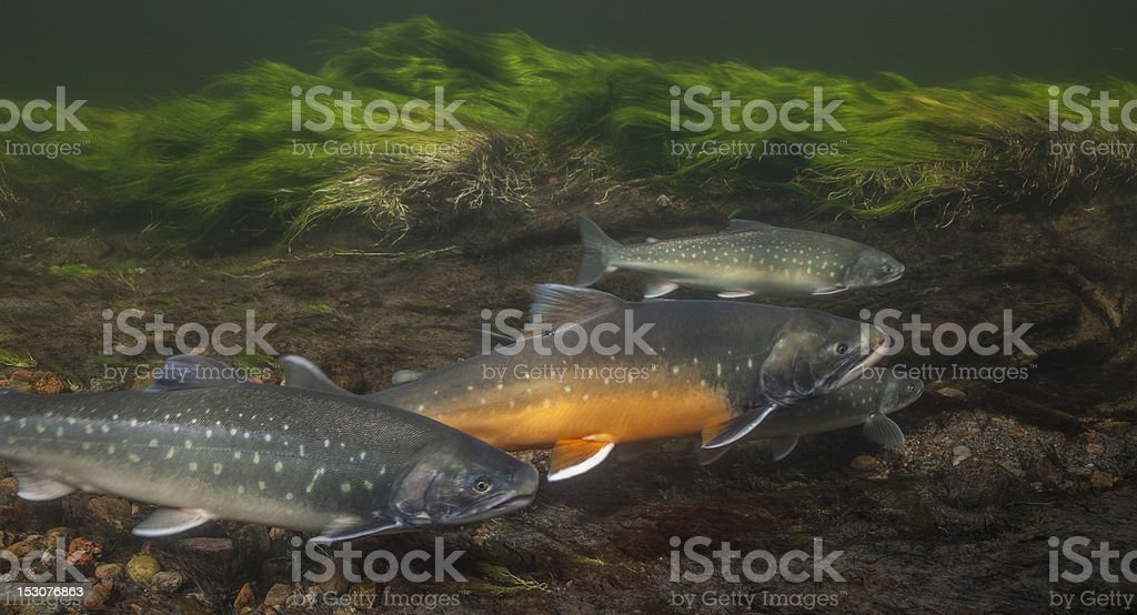Arctic chars in clear water river, Greenland stock photo