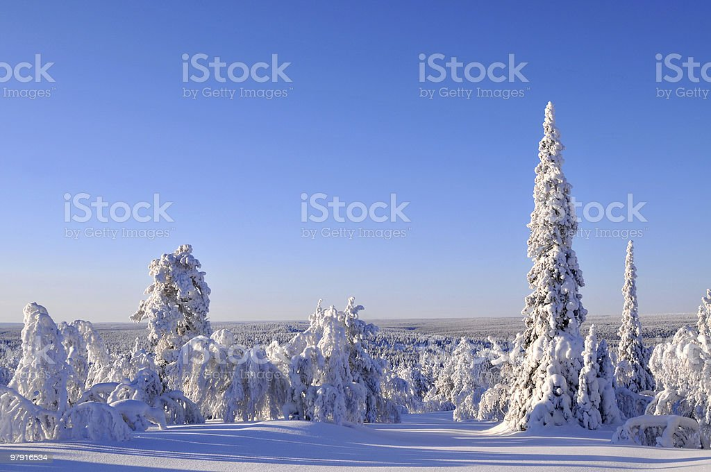 Arctic Forest royalty-free stock photo