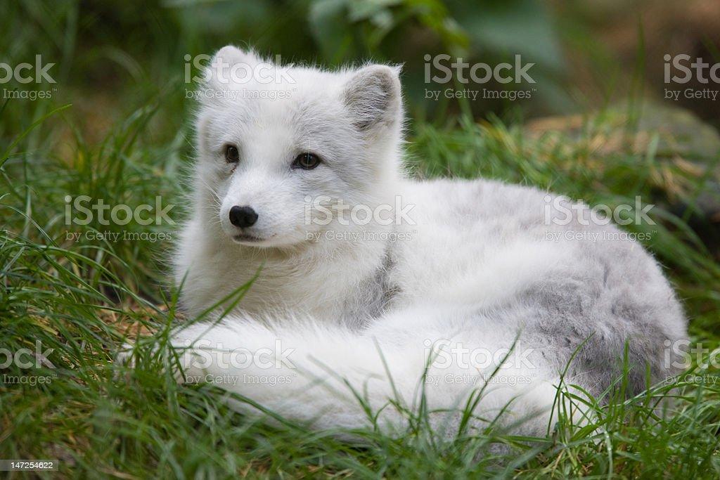 Arctic fox - Alopex lagopus royalty-free stock photo