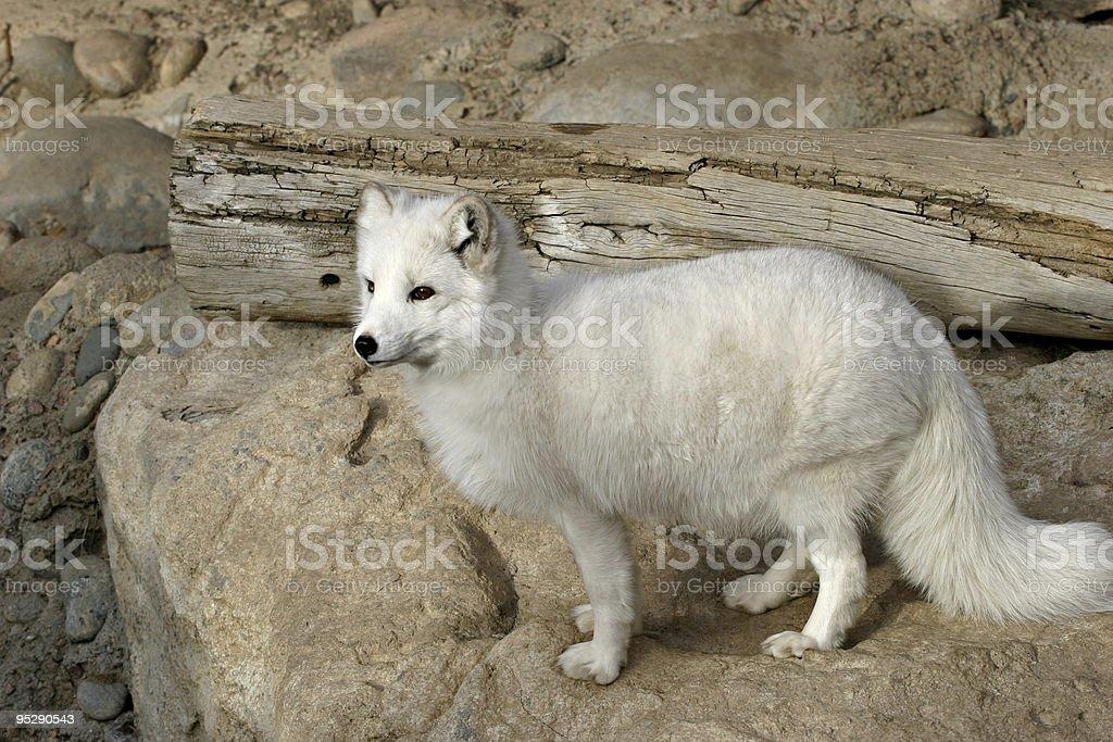 Arctic Fox (Alopex lagopus) At The Zoo stock photo
