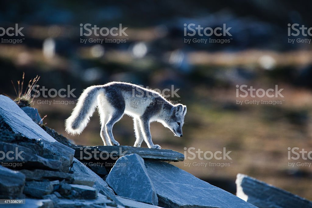 Arctic fox is standing on a rock stock photo