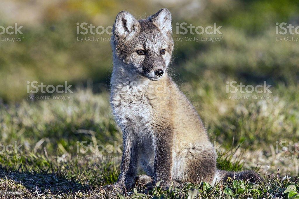 Arctic Fox Kit stock photo