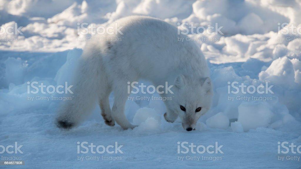 Arctic fox on a snow background. stock photo