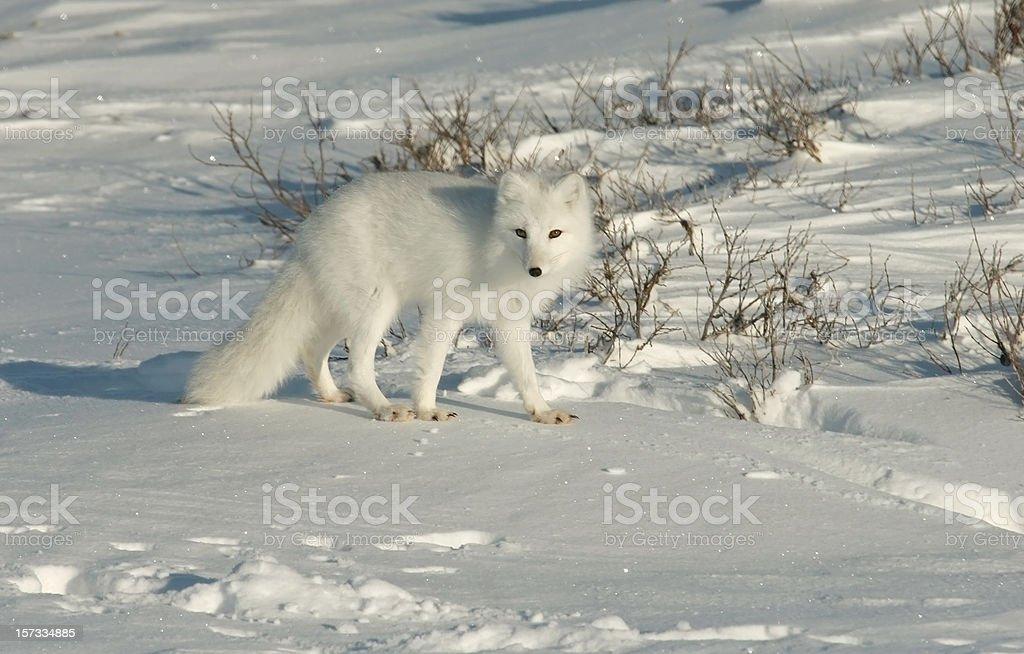 Arctic fox on snow covered tundra near Hudson Bay royalty-free stock photo