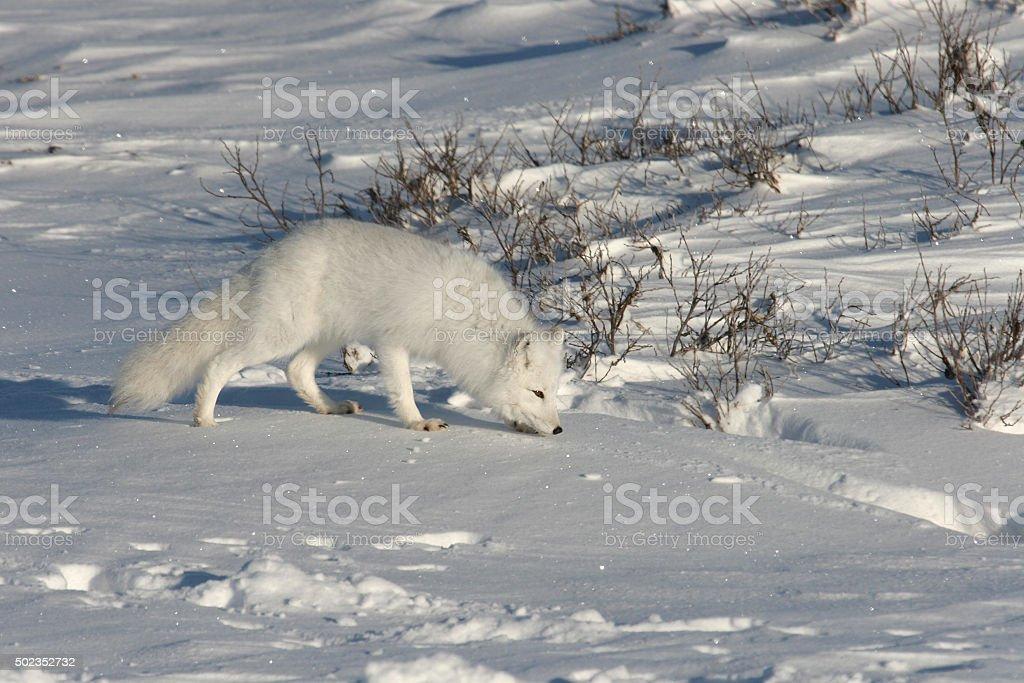 Arctic fox on snow covered tundra near Hudson Bay stock photo