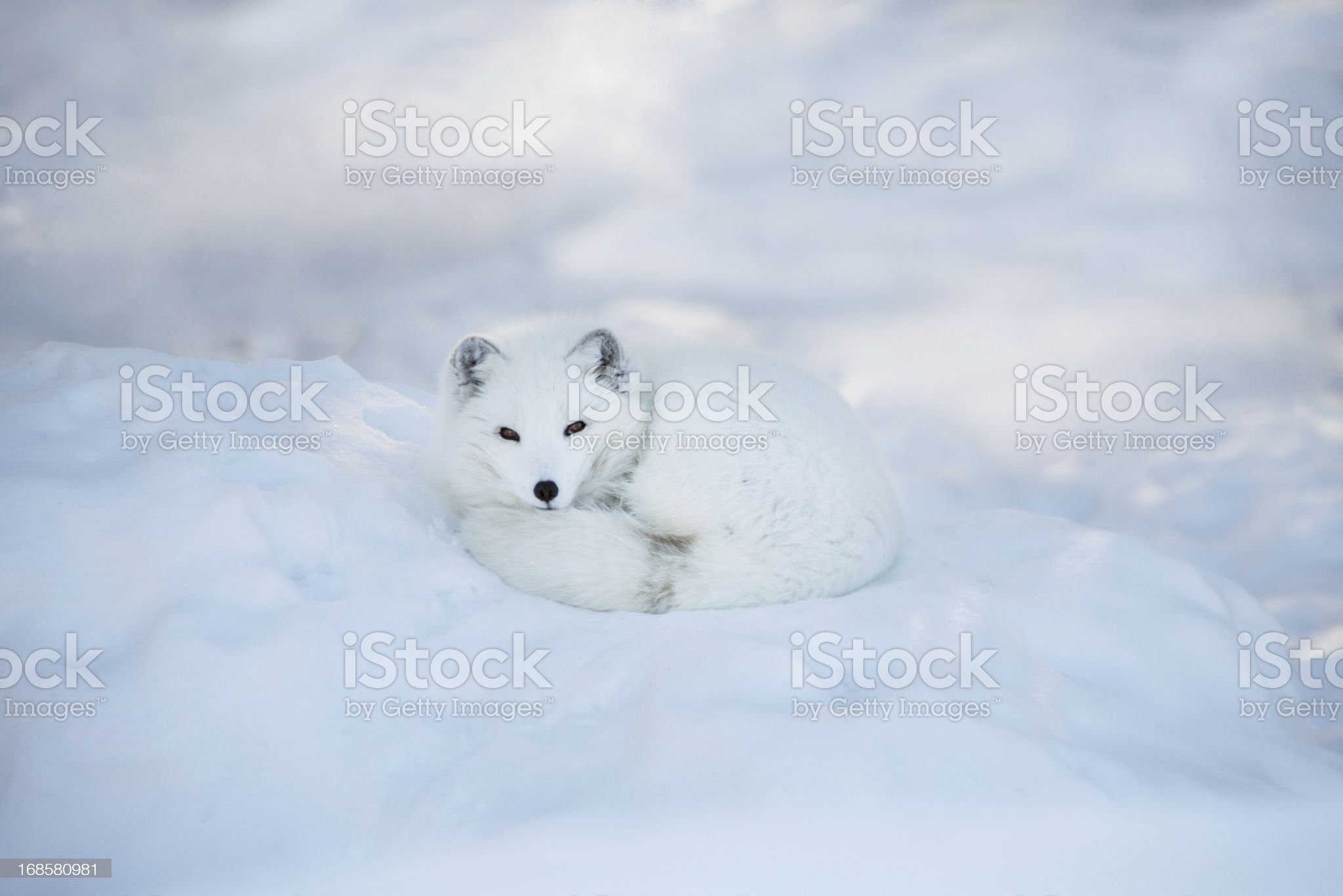 Arctic fox resting in the snow royalty-free stock photo