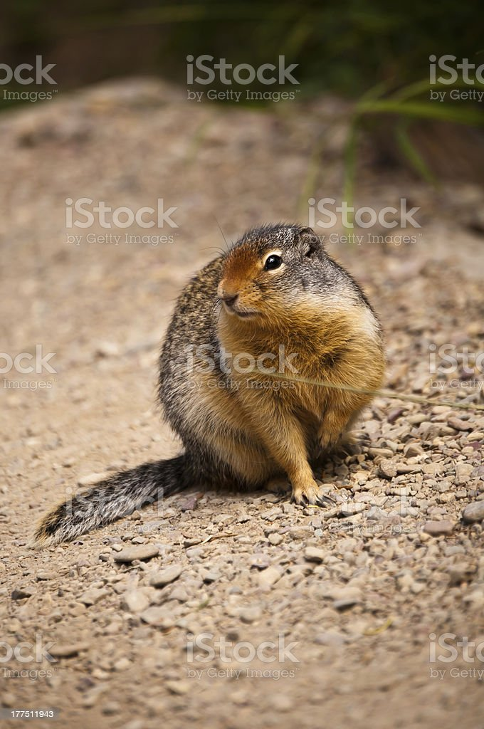 Arctic Ground Squirrel royalty-free stock photo