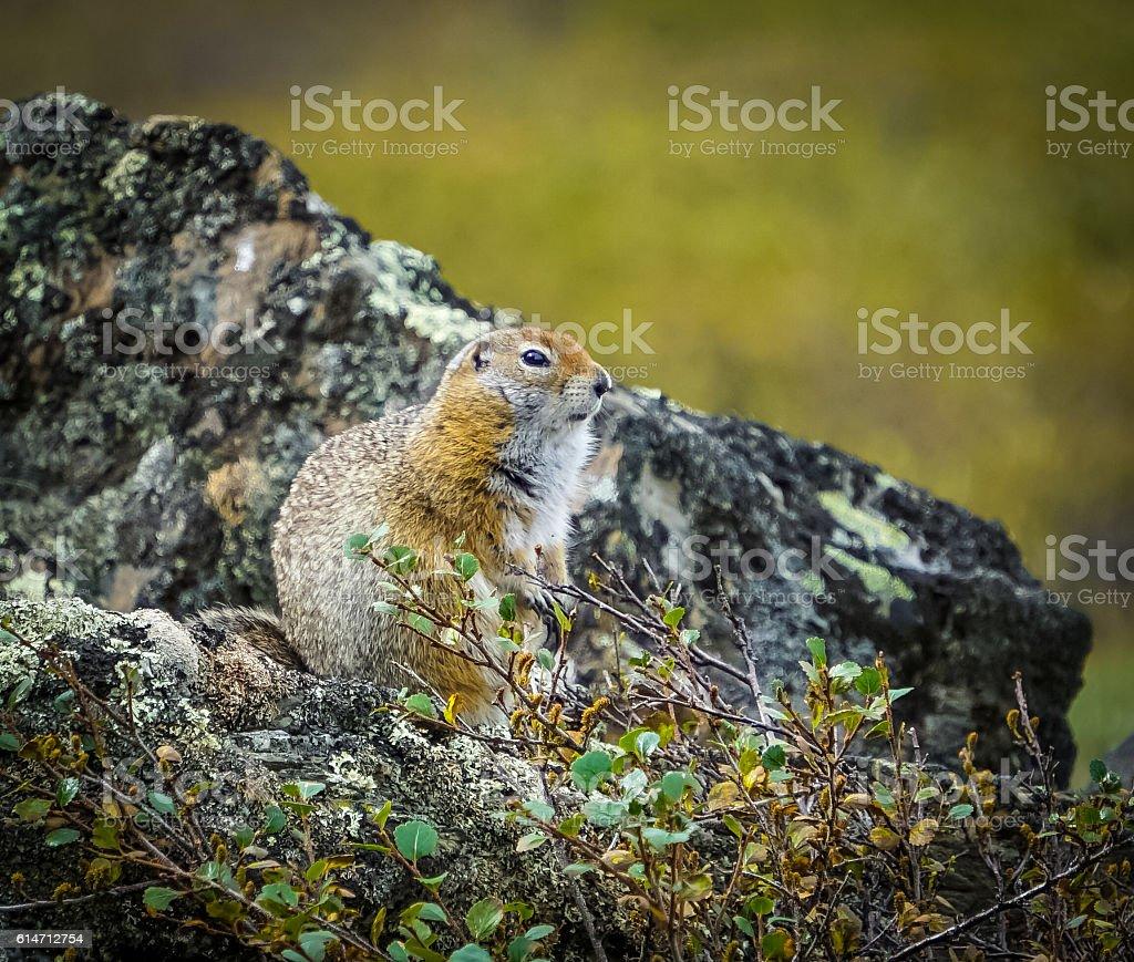 Arctic Ground Squirrel stock photo