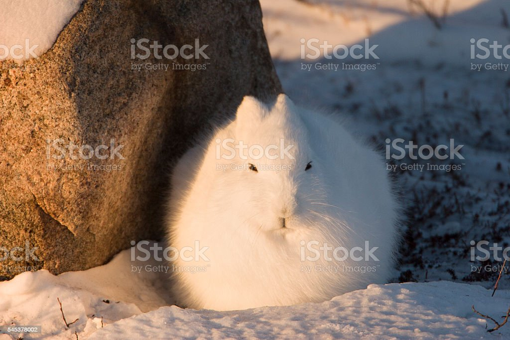 Arctic hare in sunset. stock photo