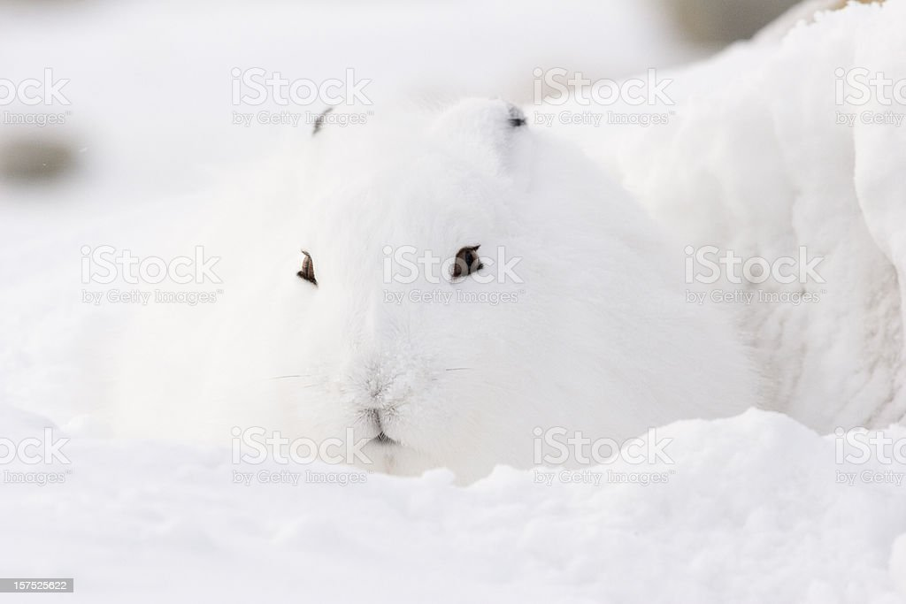 Arctic hare. royalty-free stock photo