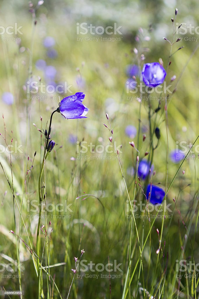 Arctic Harebell in meadow stock photo