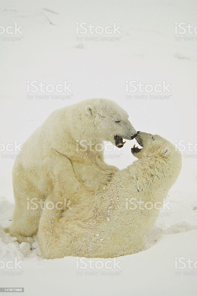 Arctic Playmates stock photo
