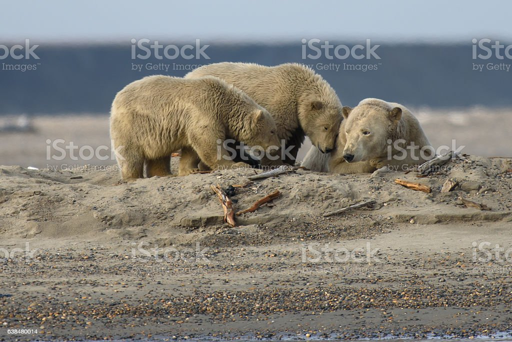 Arctic Polar Bear Cubs Nuzzling Up With Mother on Land stock photo
