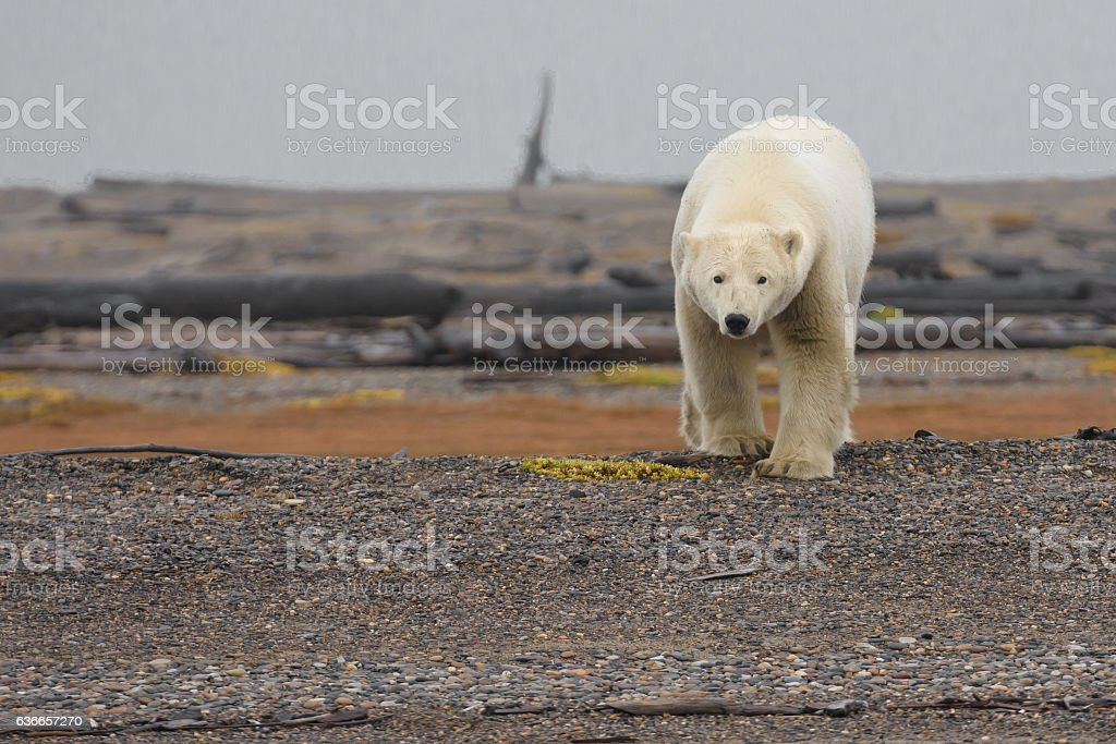 Arctic Polar Bear on Land stock photo