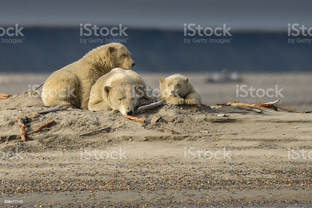 Arctic Polar Bear Sow and Two Cubs Resting on Land stock photo