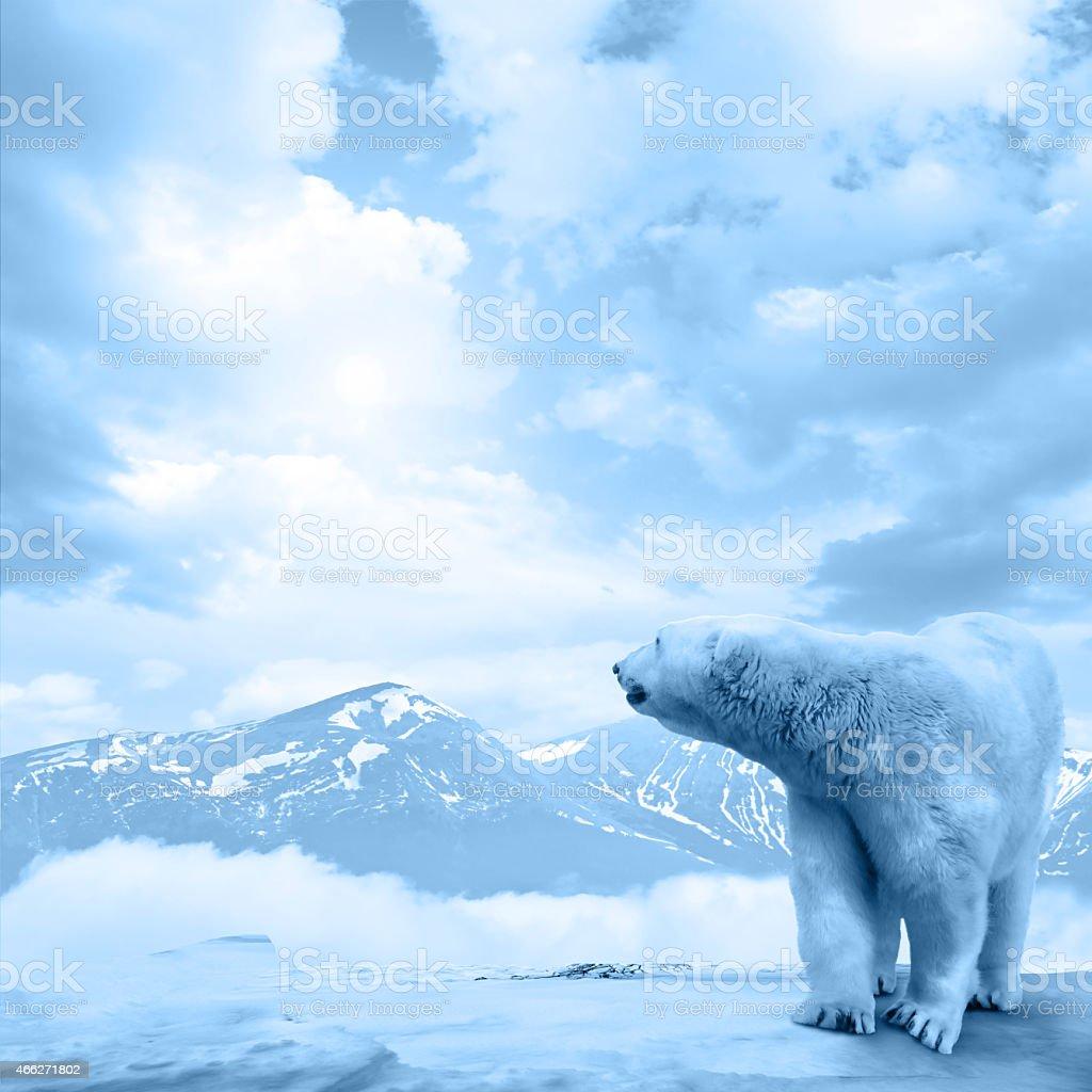 Arctic polar bear, Ursus maritimus stock photo