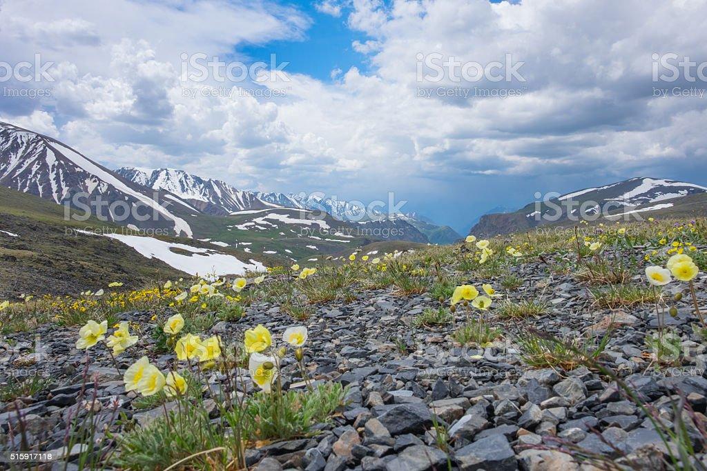 Arctic poppies stock photo