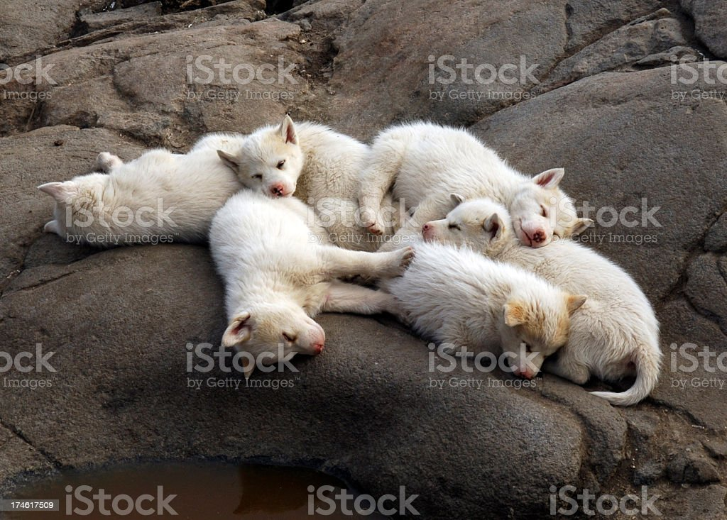 Arctic Puppies royalty-free stock photo