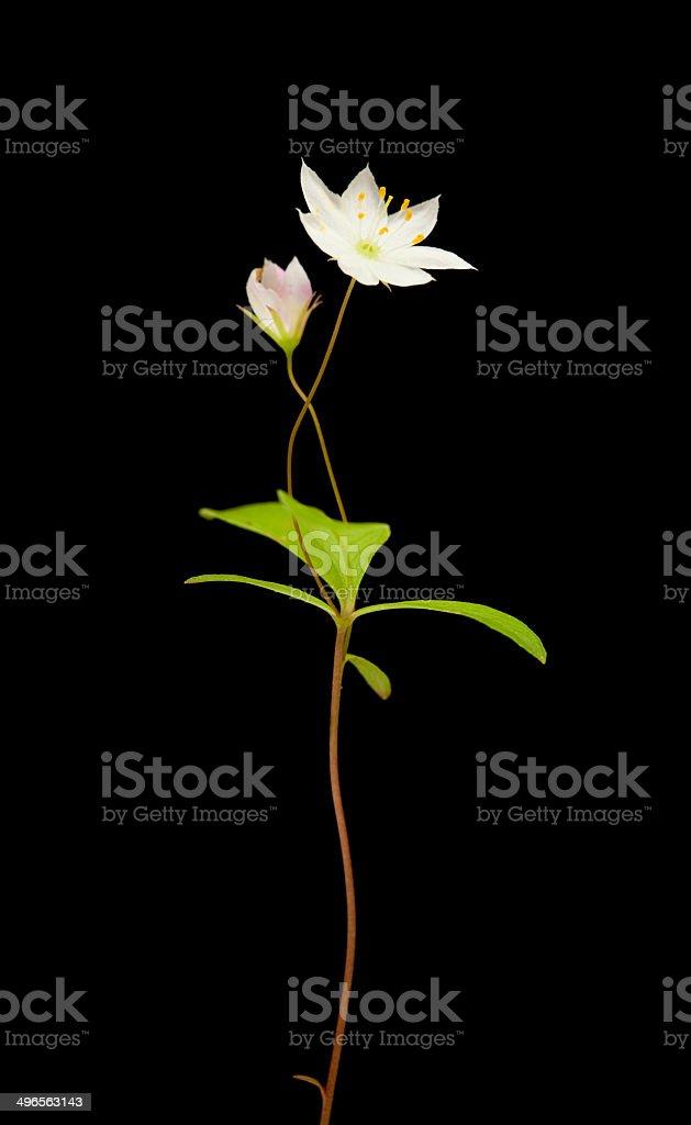 Arctic starflower stock photo