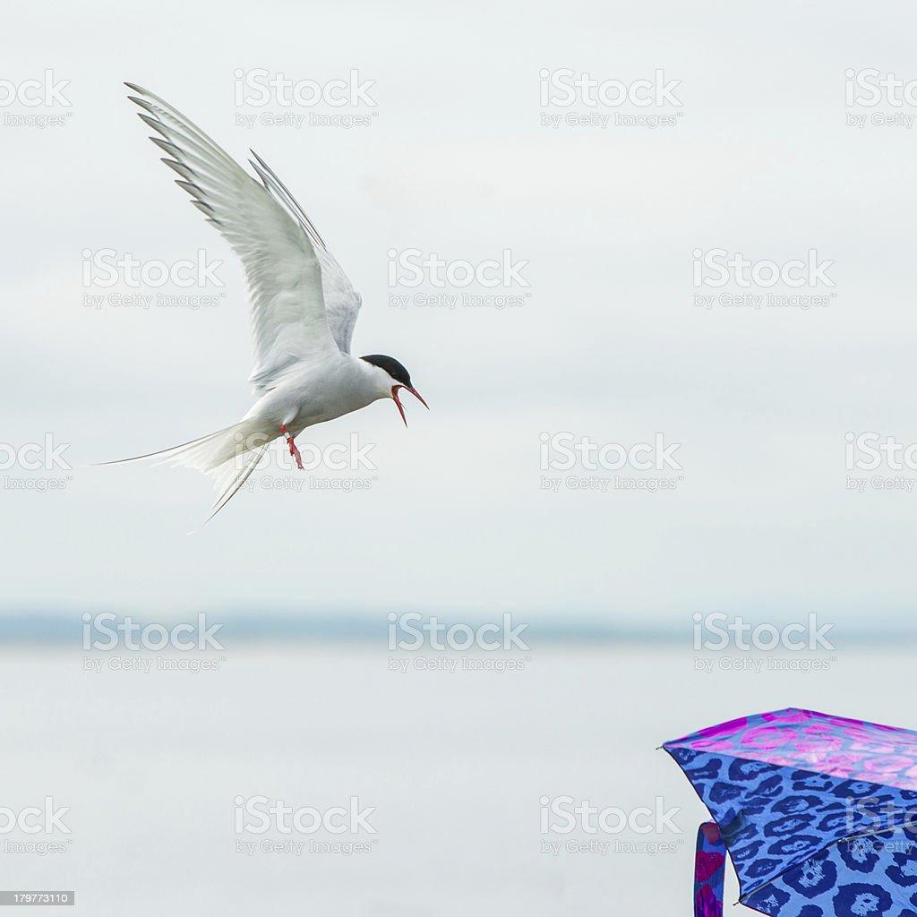 Arctic Tern attacking an umbrella (Farne Islands, UK) royalty-free stock photo