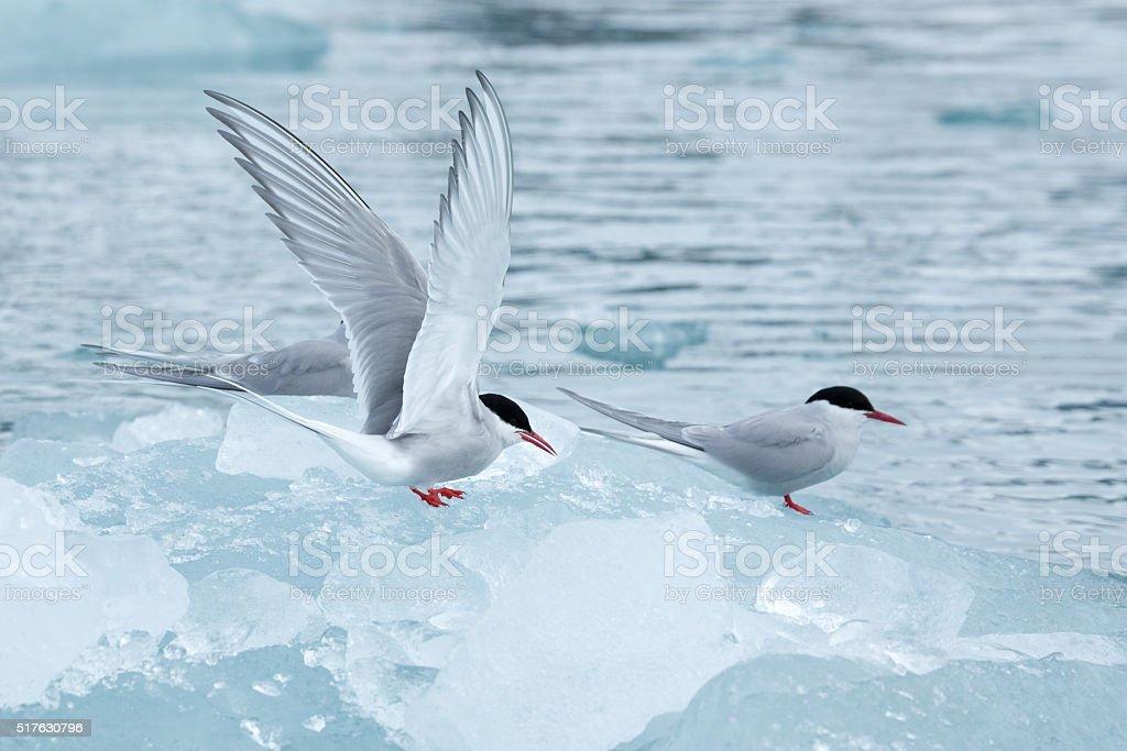 Arctic tern bird in Svalbard on glacier stock photo