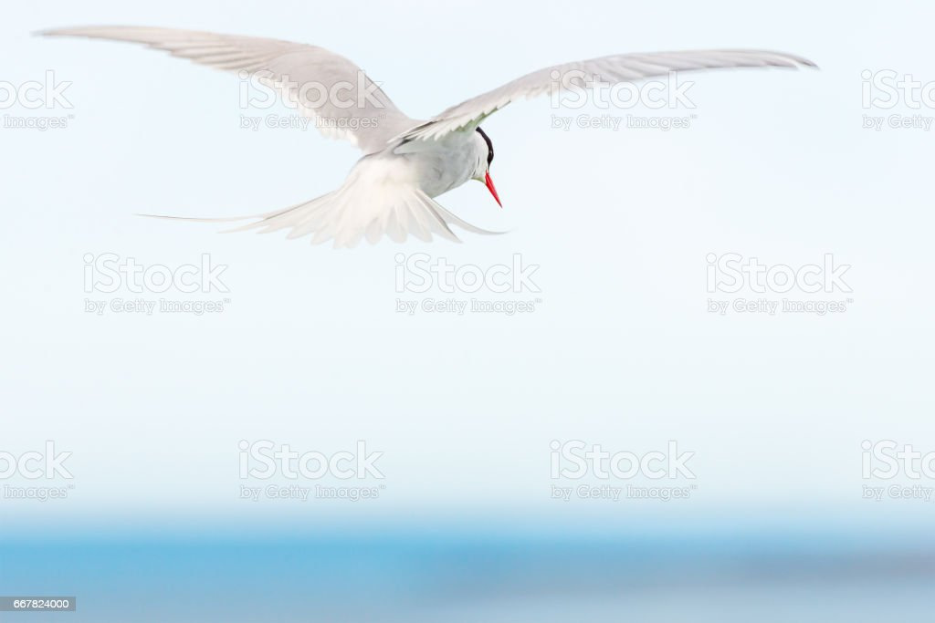 Arctic Tern flying stock photo