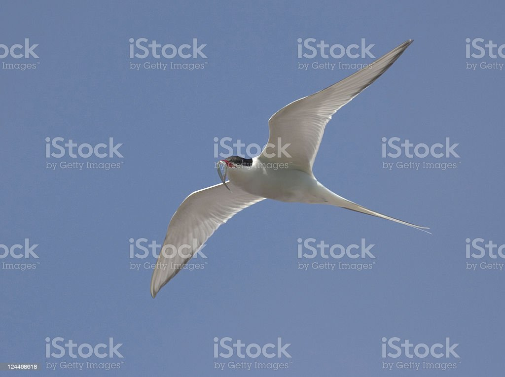 Arctic Tern Flying with Fish stock photo