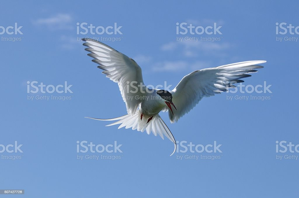 Arctic tern in backlight (Sterna paradisaea) stock photo