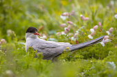 Arctic Tern looking