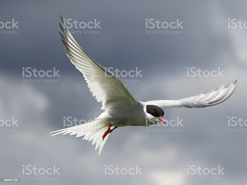 Arctic Tern on the Farne Islands in Northumberland, England stock photo
