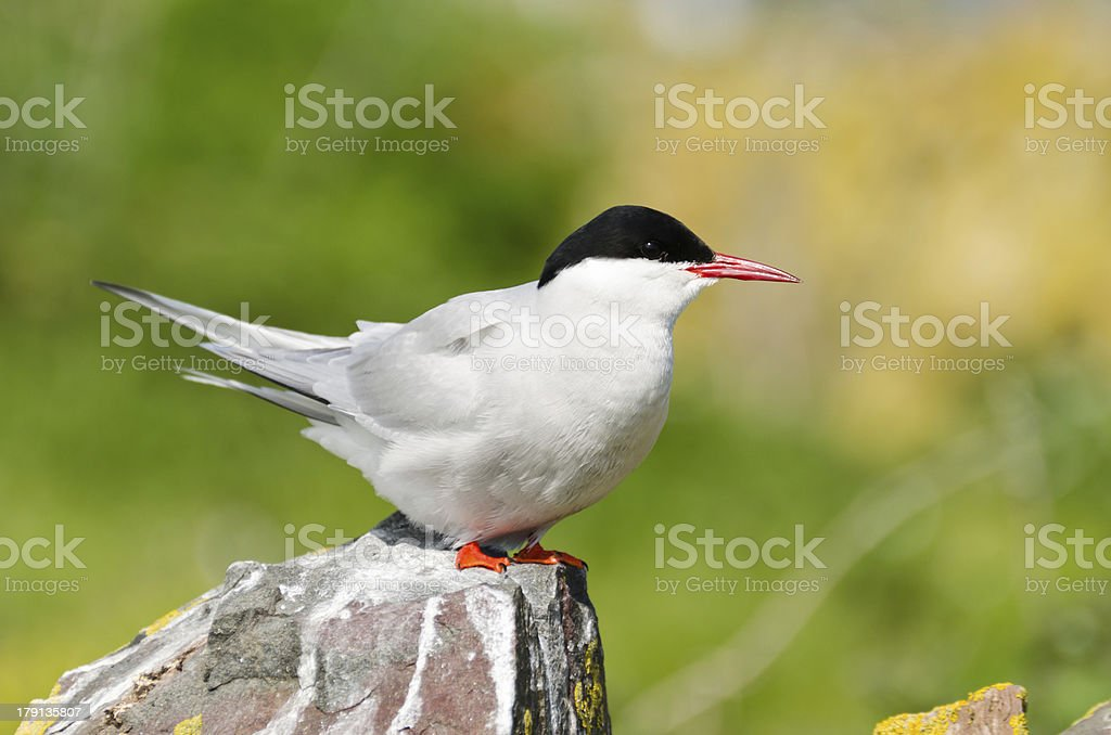 Arctic Tern perched on rock stock photo