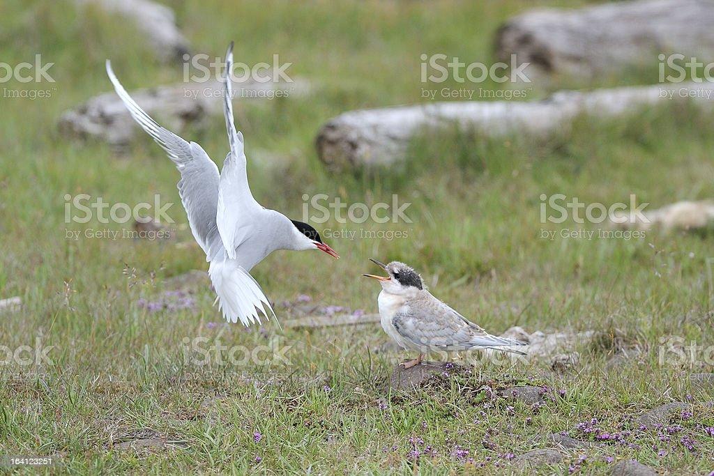 Arctic Tern royalty-free stock photo
