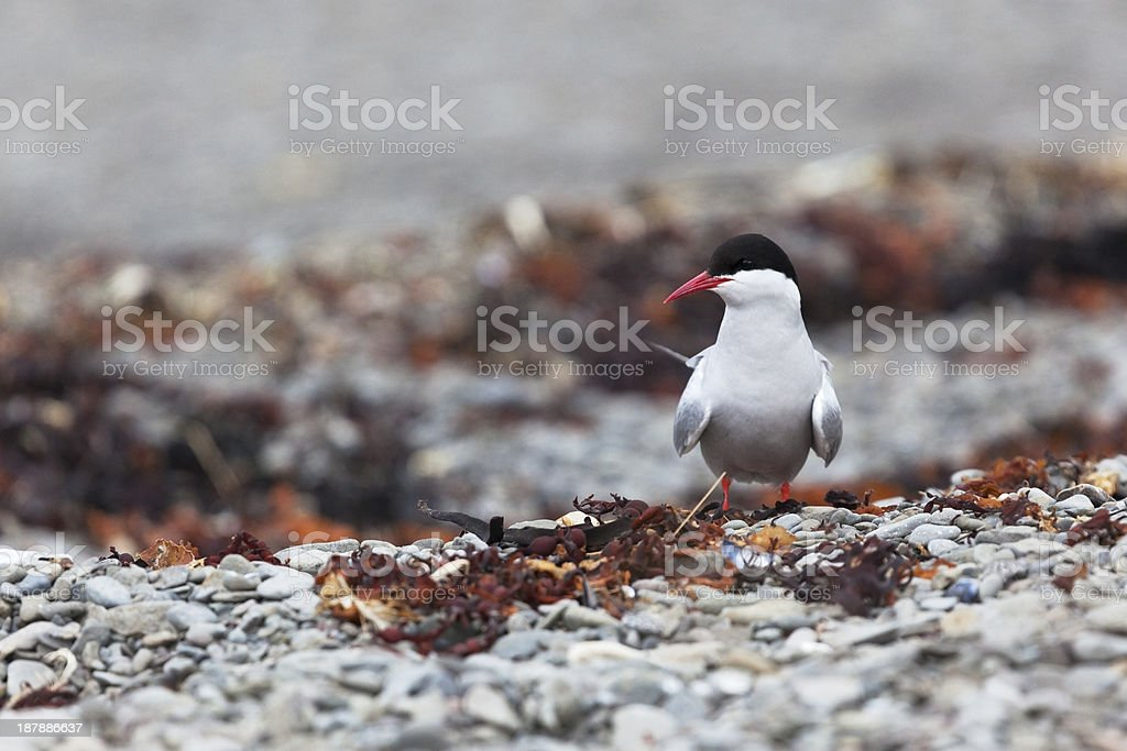 Arctic Tern (Sterna paradisaea) royalty-free stock photo