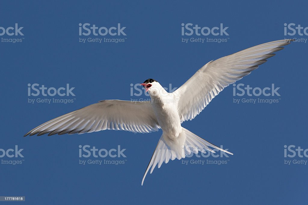 Arctic tern Protecting Its Nest stock photo